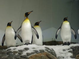 King Penguin3-Stock by SilkenWebs