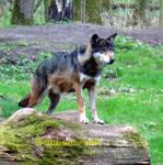 Wolf by EvilBohnenkraut