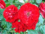 Red Flower by EvilBohnenkraut