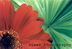 Gerbera and palm by DjeeZ