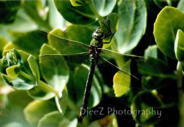 Dragonfly by DjeeZ