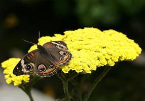 June Butterfly 04 by TruemarkPhotography