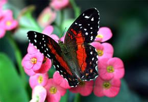 June Butterfly 06 by TruemarkPhotography
