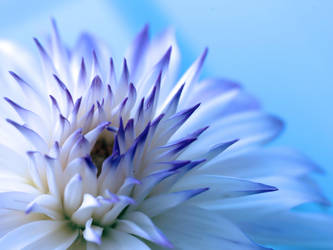 Dahlia Candy 4 by TruemarkPhotography