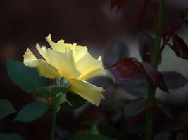 Karin's Rose by TruemarkPhotography