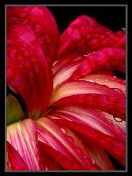Wet, Red Dahlia by TruemarkPhotography