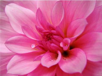 The Pink Dahlia by TruemarkPhotography