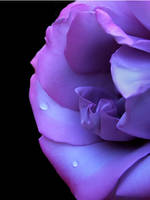 Droplets on a Purple Rose by TruemarkPhotography