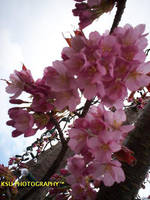 sweet pink cherry blossom tree by KailaDarling