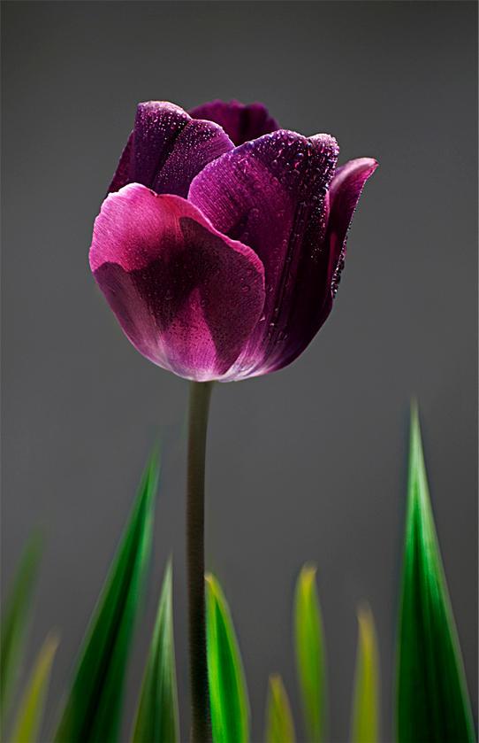 Purple Tulip by ozugun