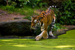 Tiger by PiTurianer