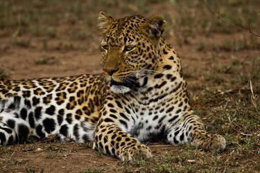 - Leopard - by PiTurianer