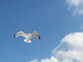 Flying Seagull by photohouse