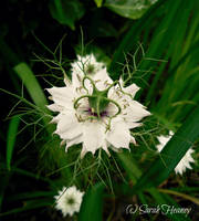 Love In A Mist by Lillith8810
