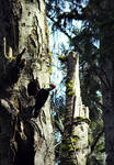 Pileated Woodpecker by Lillith8810