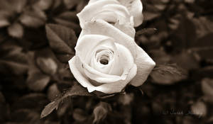 White Rose by Lillith8810