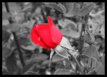 Rosebud by darthmorsus