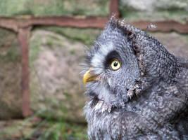 Great Grey Owl by keksimtee