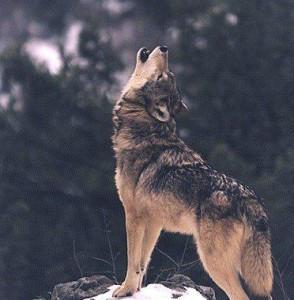 GreatWhitewolfspirit's Profile Picture