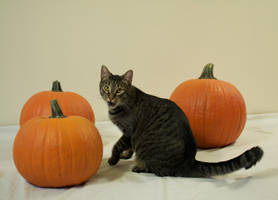 The Pumpkin Cat 3 by MajesticStock