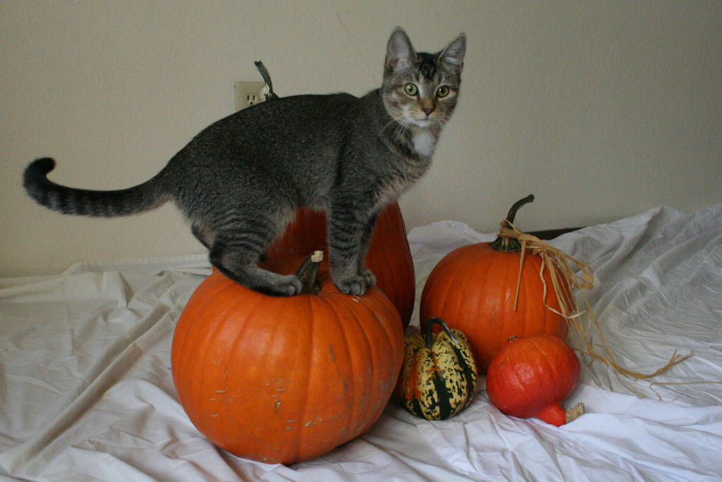 The Pumpkin Kitten 18 by MajesticStock