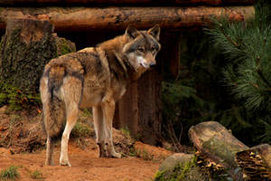 European Greywolf1 by Quiet-bliss