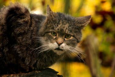Felis silvestris by Quiet-bliss