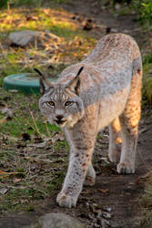 Luchs by Quiet-bliss