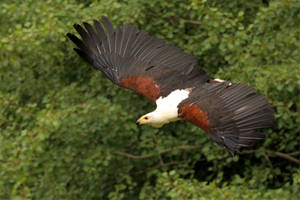 African fish eagle by Quiet-bliss
