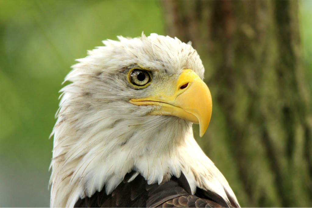bald eagle by Quiet-bliss