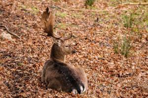 European fallow deer by Quiet-bliss
