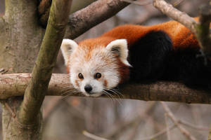 red panda by Quiet-bliss