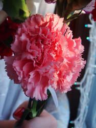 Carnations III by midnite-silver