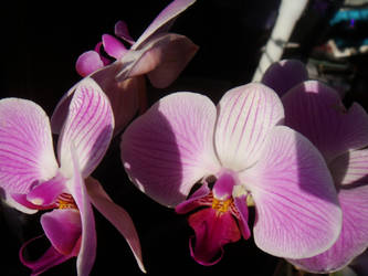 Orchids by midnite-silver