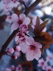 Cherry Blossom by midnite-silver