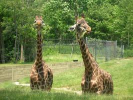 Giraffes by staciei