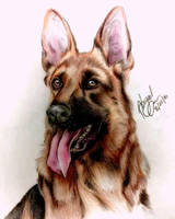 German Shepard by Ivystream