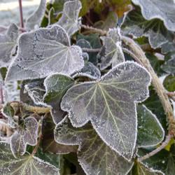 Frozen Ivy by Meellowstar