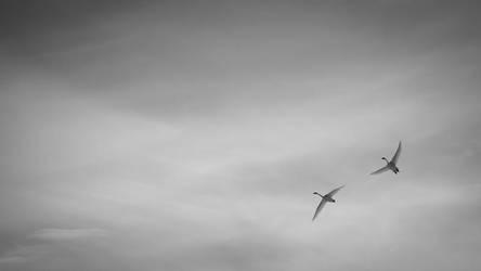 Swans by hawwe