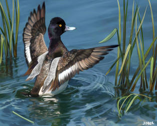 Scaup by Socorra