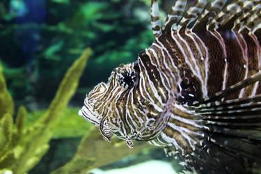 Lionfish (09/18) by Karakata