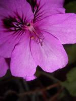 geranium one by snowmanjester