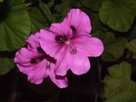 geranium two by snowmanjester
