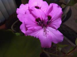 geranium three by snowmanjester