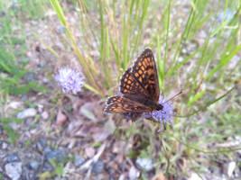 Butterfly by bormolino