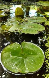 Floating leaves by FreshwaterMermaid