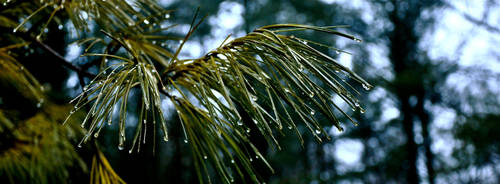Pines After Rain by TheMagneticWombat