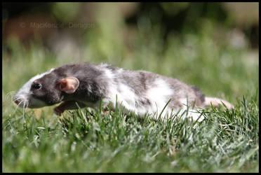 Run Rat Run by Kenisya