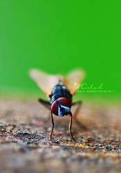 My Beautiful Fly by lOolah