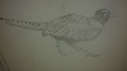 Pheasant by CalvinTaylor